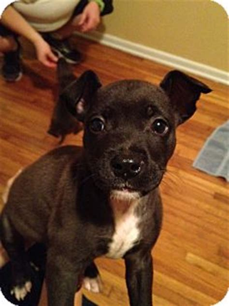 boston terrier pitbull mix puppies samo adopted puppy orlando fl boston terrier pit bull terrier mix