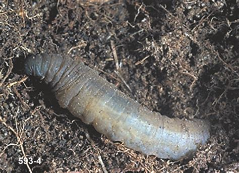 garden pests grubs lawn care news and tips lawnscience lawn care tips