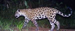 Jaguar Threats Jaguar Corridor Lights Up Eastern Colombia U S Agency