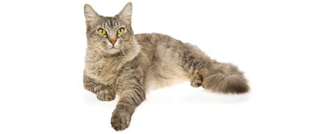laperm cat breed profile petfinder
