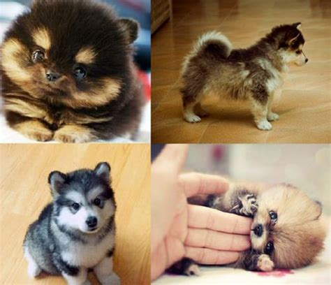 i want puppies pomsky puppies i freakin want one random but
