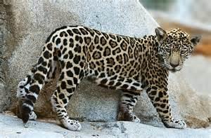 Jaguar Cub Photography At Www Betterphoto