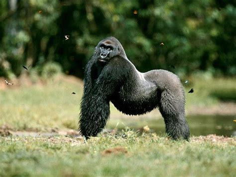 Gorilla   Wildlife   The Wildlife
