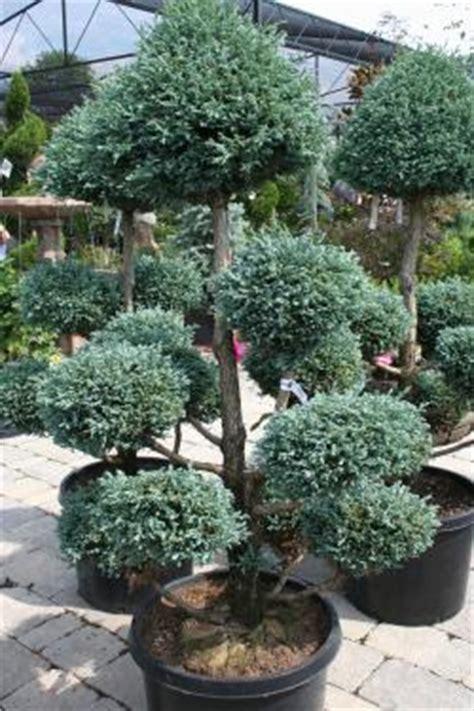 topiary tree care pom juniper breeds picture