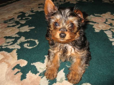 yorkie puppies for sale in louisville ky terrier puppies for sale louisville ky 67500