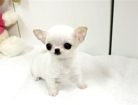 how between puppies best 25 apple chihuahua ideas on
