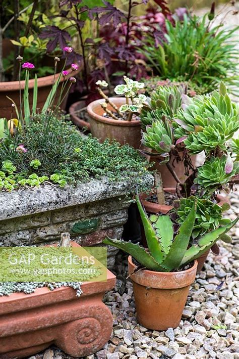 sedum container gardens gap gardens a container garden with agave aeonium