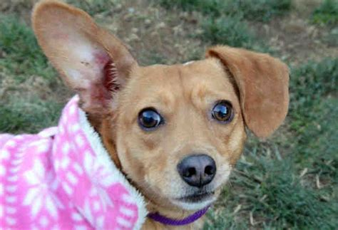 potter league dogs meet lola adoptable of the week portsmouth press