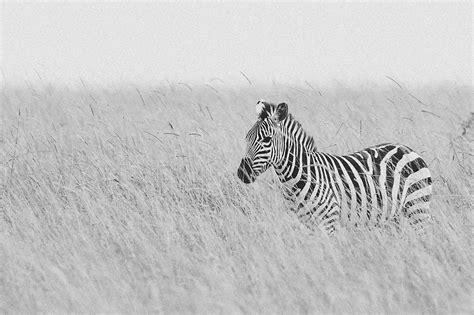 imagenes en blanco y negro de la sagrada familia cebra equus quagga en la sabana blanco y negro