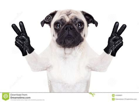 cool pug cool pug stock photo image 44068891