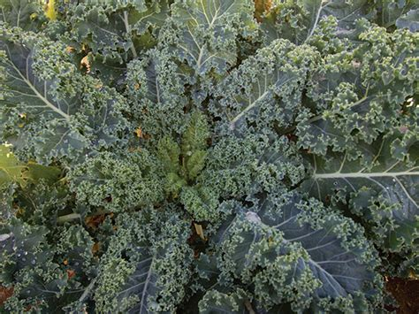 Seed Kale Curly 1 blue curled scotch kale baker creek heirloom seeds