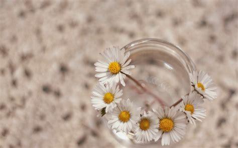achtergrond bloemen rustig madeliefjes in een glas hd wallpapers