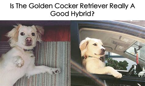 buy golden cocker retriever de 25 bedste id 233 er inden for golden cocker retriever p 229 golden