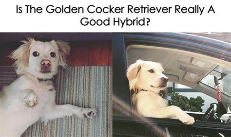 golden cocker retriever for sale in pa de 25 bedste id 233 er inden for golden cocker retriever p 229