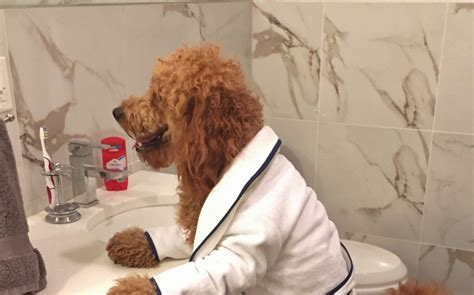 golden retriever cross poodle meet new york s favourite pooch samson the dood is caters news agency