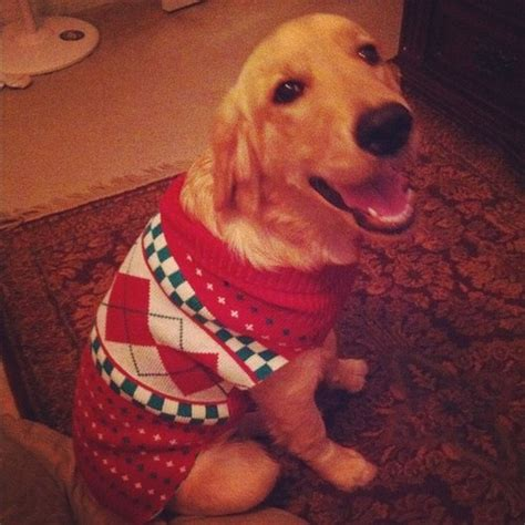 golden retriever sweater dressed to the nines for the sweater photo via alyssabrookeb