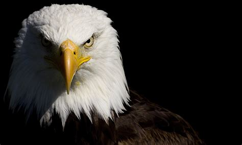 wallpaper black eagle bald eagle full hd wallpaper and background image