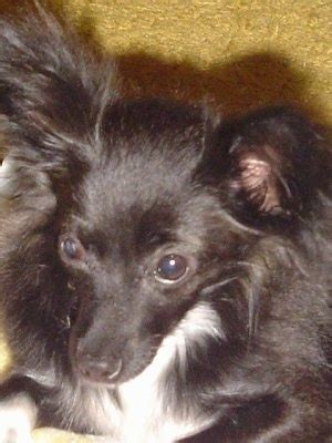the chion a classic vintage chion dog breed information and pictures