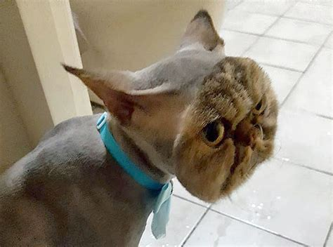 lion haircut for women cat returns from groomers with horribly botched lion cut
