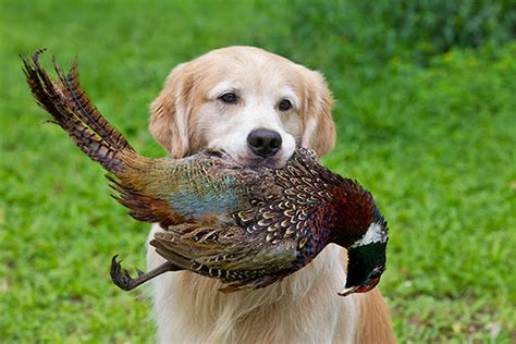 golden retriever magazine breed profile the golden retriever gun magazine