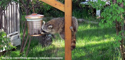 raccoon in my backyard the top 10 tips for dealing with raccoons 187 watching
