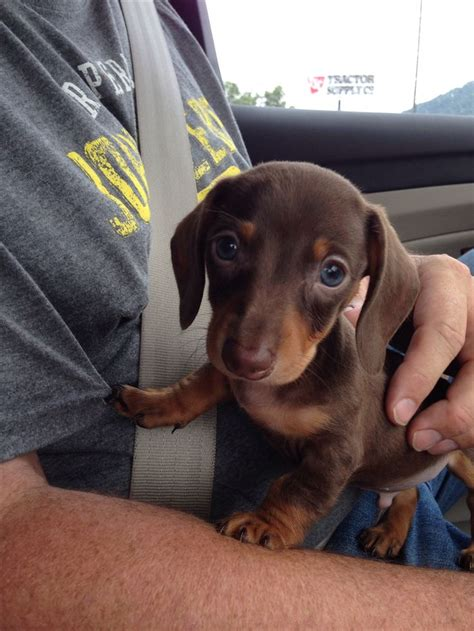 7 week puppy 7 week mini dachshund puppy quot mini cooper quot for xoxo
