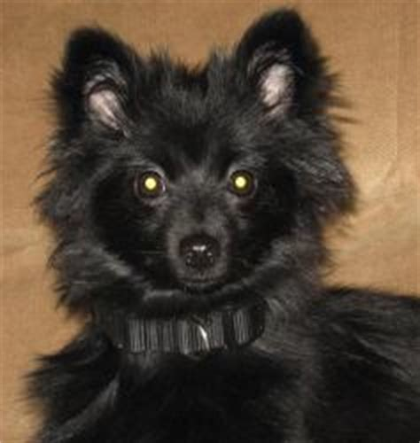 pomeranian puppies for sale new orleans pomeranian for sale in hartwell skipper breeds picture
