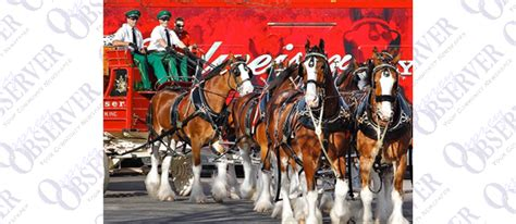 Fabienne Anton Dissertation by Budweiser Clydesdales At Gasparilla Parade Deliver