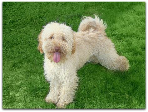 mini labradoodles louisiana 1000 images about dogs labradoodles on