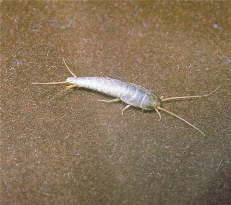 what causes silverfish in bathrooms natureplus weird silverfish like bug found in kitchen and
