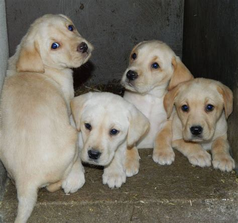 preloved golden retrievers for sale puppies for sale aberdeenshire breeds picture