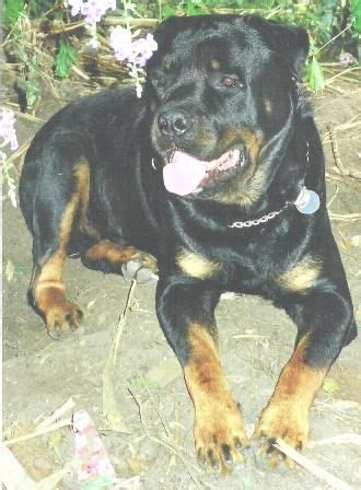 rottweiler for sale brisbane rottweiler pups 4 sale bred for sale adoption from queensland brisbane metro