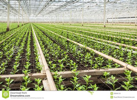 nursery plants small chrysanthemum cuttings in a modern plant nursery stock photo image 29556178