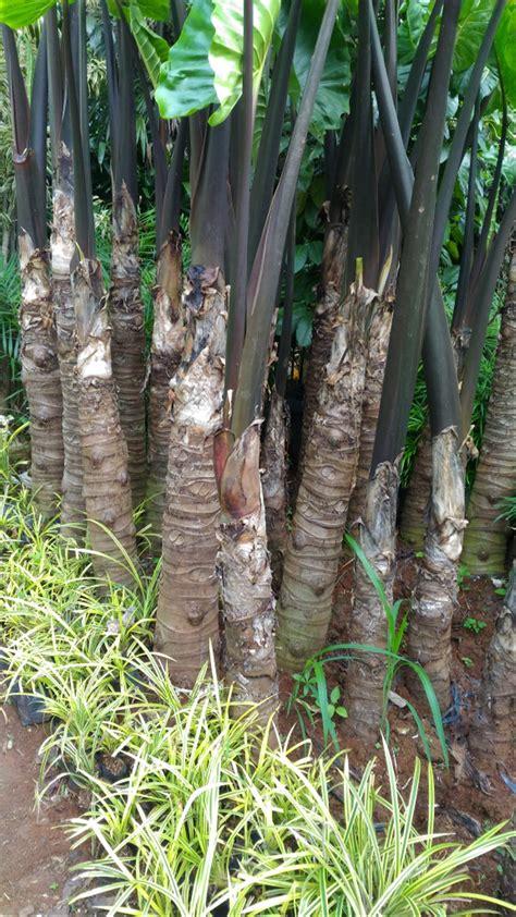 jual tanaman hias pohon sente bali  lapak herbal farm