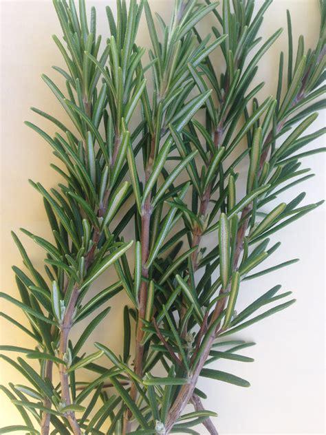 Daun Rosemary 1kg tanaman rosemary daftar harga terlengkap indonesia terkini