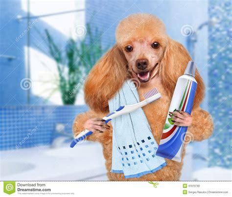 brushing yorkies teeth dogs brushing teeth breeds picture