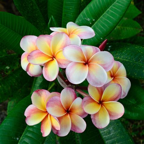 images of flowers frangipani