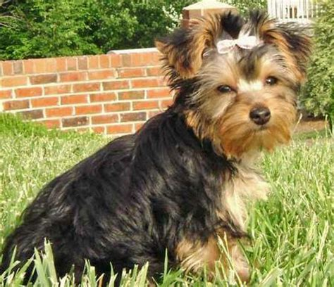 can a yorkie have floppy ears london the yorkshire terrier puppies daily puppy
