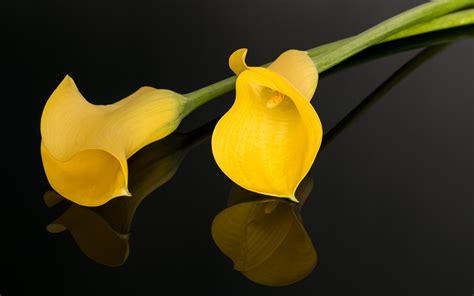 imagenes flores calas fondo de pantalla calas flores hd