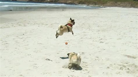 the flying pug minnie the flying pug