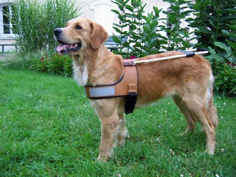 golden retriever guide les races de chiens guides de l association de