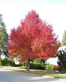 Garden Zone By Zip Code - plantfiles pictures sweetgum red gum liquid amber worplesdon liquidambar styraciflua by