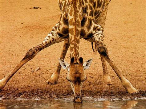 fotos animales wallpapers giraffes images giraffes hd wallpaper and background