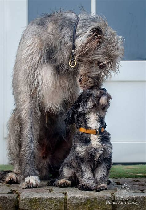 wolfhound puppies ohio 25 best ideas about wolfhound dogs on wolfhound puppies