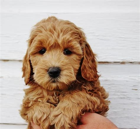 mini goldendoodle 25 best mini goldendoodle ideas on