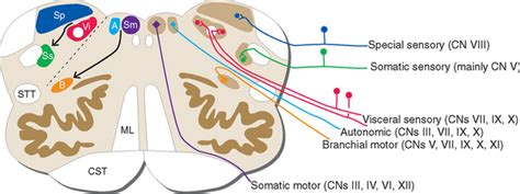 cranial nerve motor nuclei cranial nerves and their nuclei neupsy key