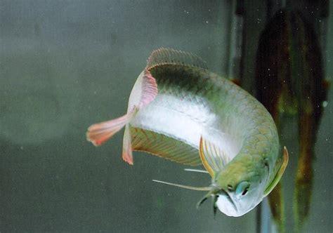 Perkutut Teratai Ikan Arwana bangkit arowana silver
