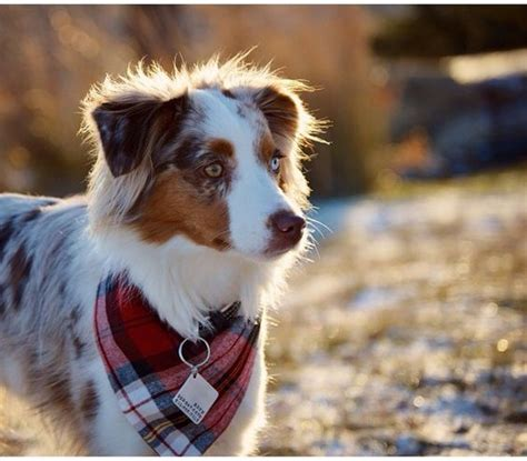flannels for dogs bandanas cotton fabric and border collie mix on