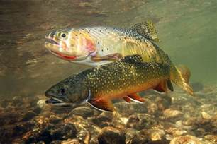trouts in the water photo and wallpaper trouts in
