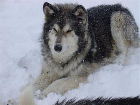 german shepherd wolf mix pin by ko clark on shepherd family